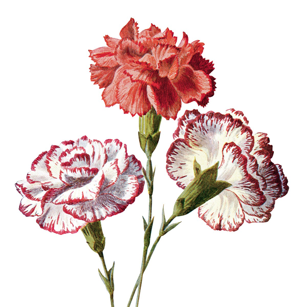 374451682 Carnation family clipart 20 free Cliparts | Download images on ...