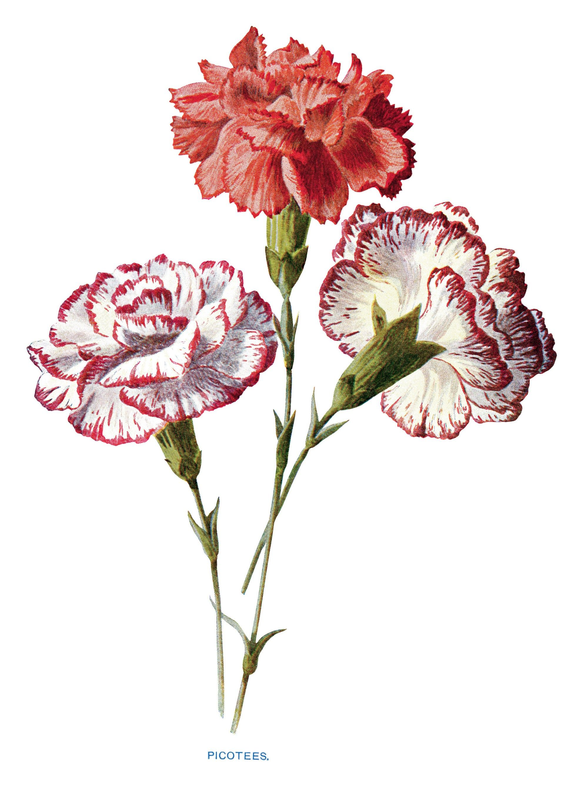 free vintage carnation clip art red white picotees flower.