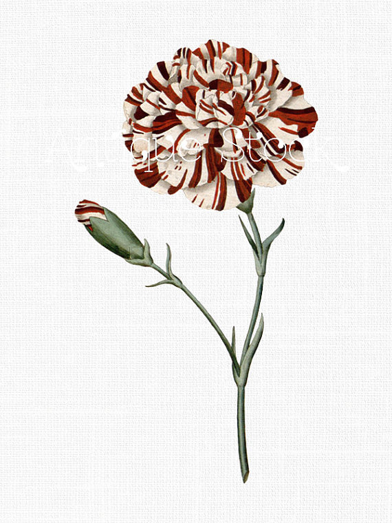 Flower Clip Art 'White and Red Carnation' Instant by AntiqueStock.