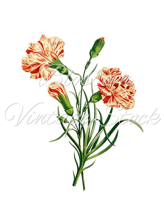Carnation Clipart Carnation Digital Image by BlossomVintageStock.