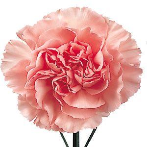 pink carnation.