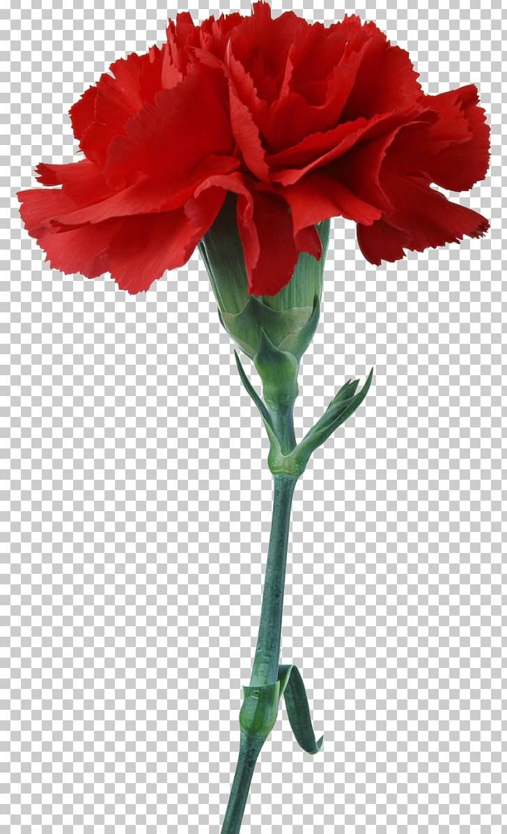 Carnation Cut Flowers Red Photography PNG, Clipart, Carnation, China.