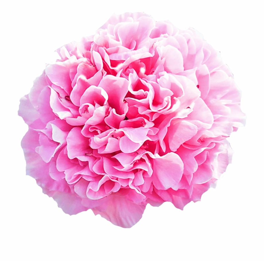 Carnation Free PNG Images & Clipart Download #1143450.