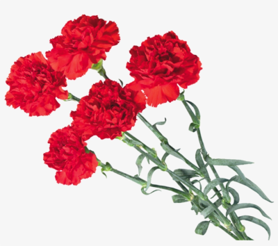 Carnations PNG.