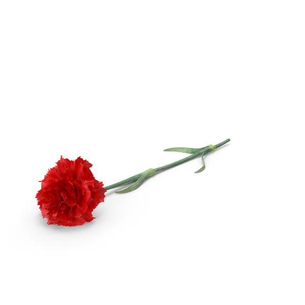 Carnation PNG Images & PSDs for Download.
