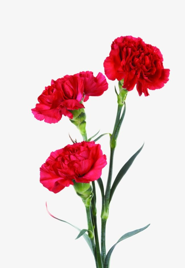 Carnations, Red, Flowers PNG Transparent Image and Clipart for Free.