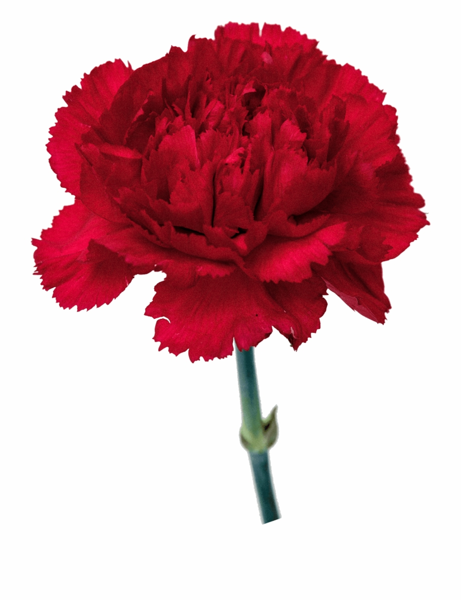 Carnation Flowers Transparent Background Free PNG Images & Clipart.