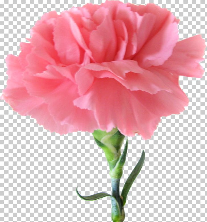 Carnation Pink Flowers Birth Flower PNG, Clipart, Annual Plant.