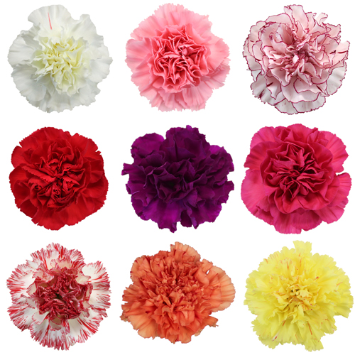 Color Carnation Flowers.
