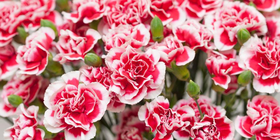 Carnation Fun Facts.