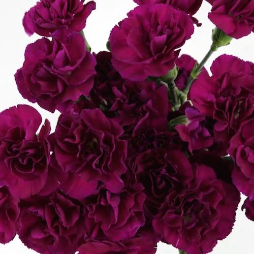 Mini Carnation Flowers.