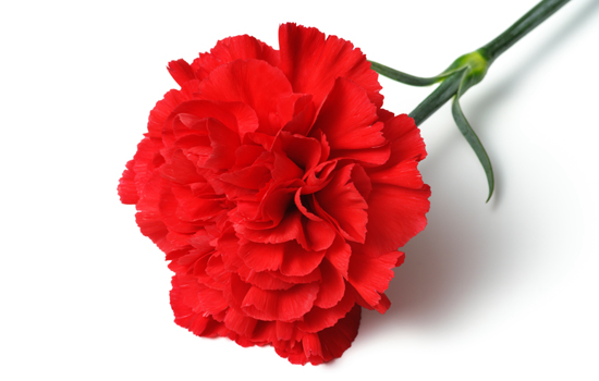 Meanings of Carnation Flowers of Different Colors: Just Fascinating!.