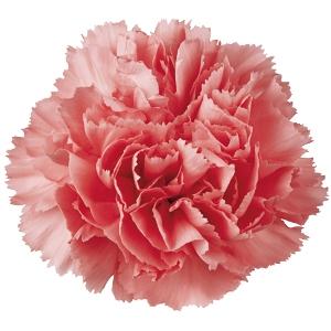Bulk Carnations.