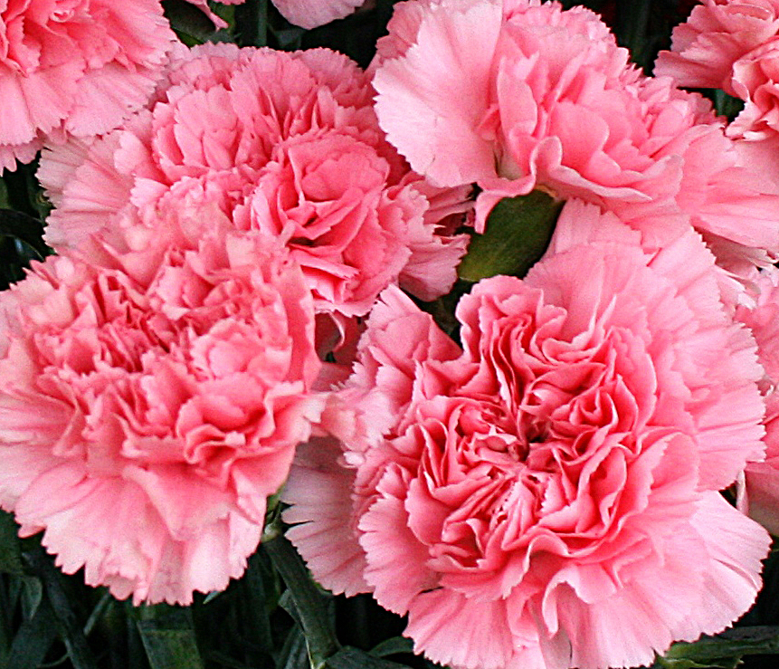 Carnation is the birthday flower for January, but it gets no.