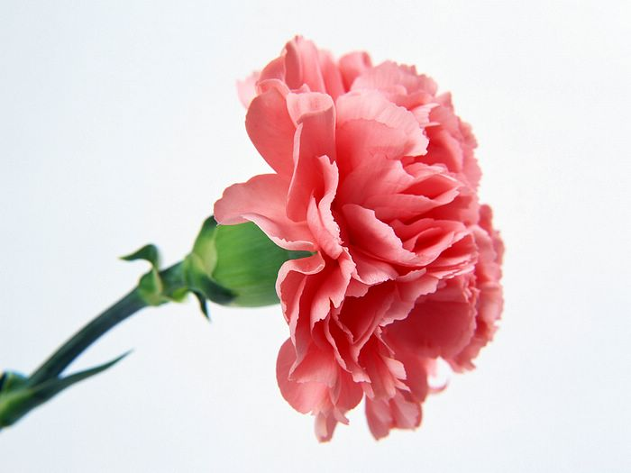 Feature Flower Friday: Carnations.