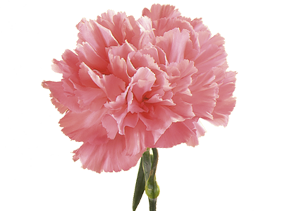 Symbolic Meaning of Carnation.