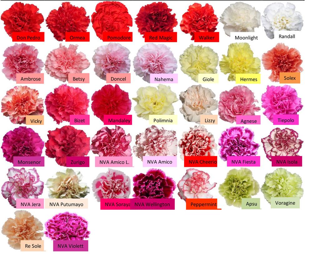 carnation — Maui Wholesale Blooms.