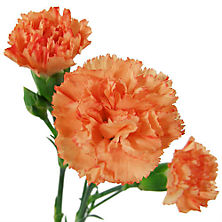 Carnations.