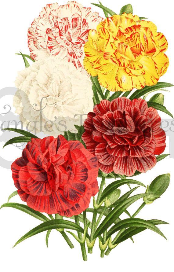 Free carnation clip art.