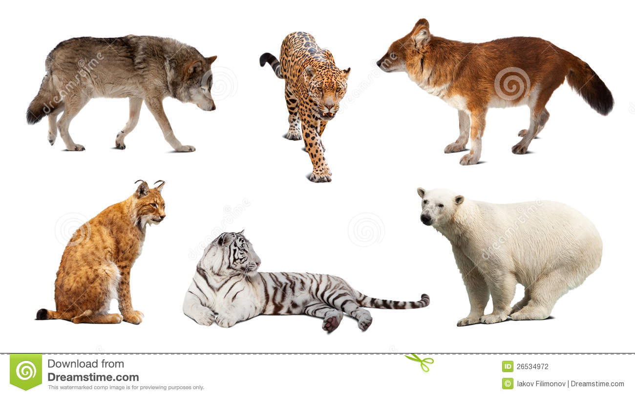 Set Of Carnivora Mammal. Isolated Over White Royalty Free Stock.