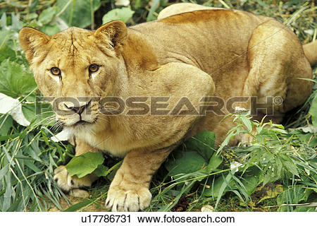Stock Photography of beige, carnivora, brown, big cat, animals.