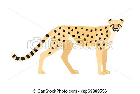 Cheetah isolated on white background. Graceful exotic carnivorous animal or  predator with spotted coat. Fast African and Asian wild cat or felid..