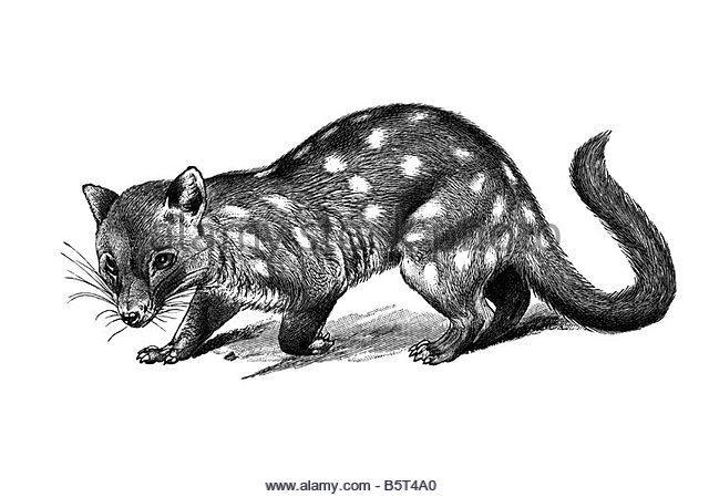 Marsupial Historical Stock Photos & Marsupial Historical Stock.