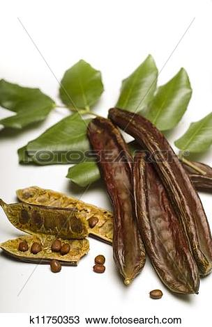 Stock Photo of Carob (Ceratonia siliqua) isolated on white.