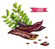 Carob Pods Certonia Siliqua Stock Illustrations.