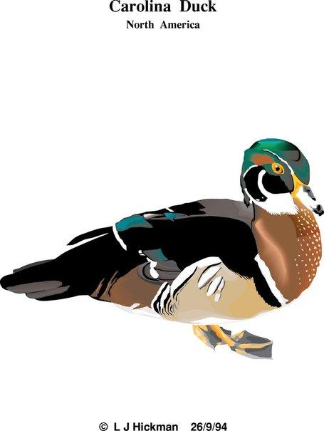Carolina Duck, Vector.
