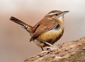 Carolina Wren, Sounds, All About Birds.
