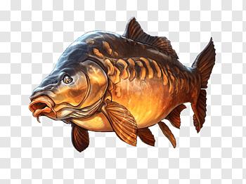 Mirror carp cutout PNG & clipart images.