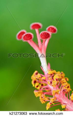 Stock Photo of Red carpel of the Hibiscus flowers k21273063.
