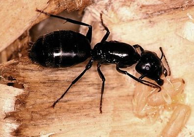 Carpenter ants in Oregon and Washington.