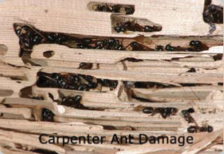 Carpenter Ants in Oregon Structures.
