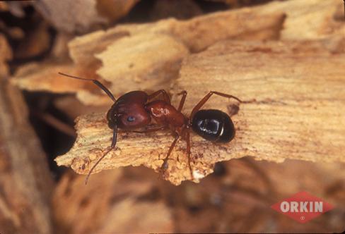 Carpenter Ants: Carpenter Ant Control & Facts.