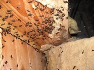 Ant Control in Portland Oregon.