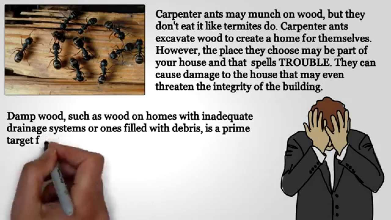 Signs Carpenter Ants are Present in Your Home.