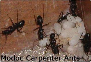 Carpenter Ants in Oregon Structures.