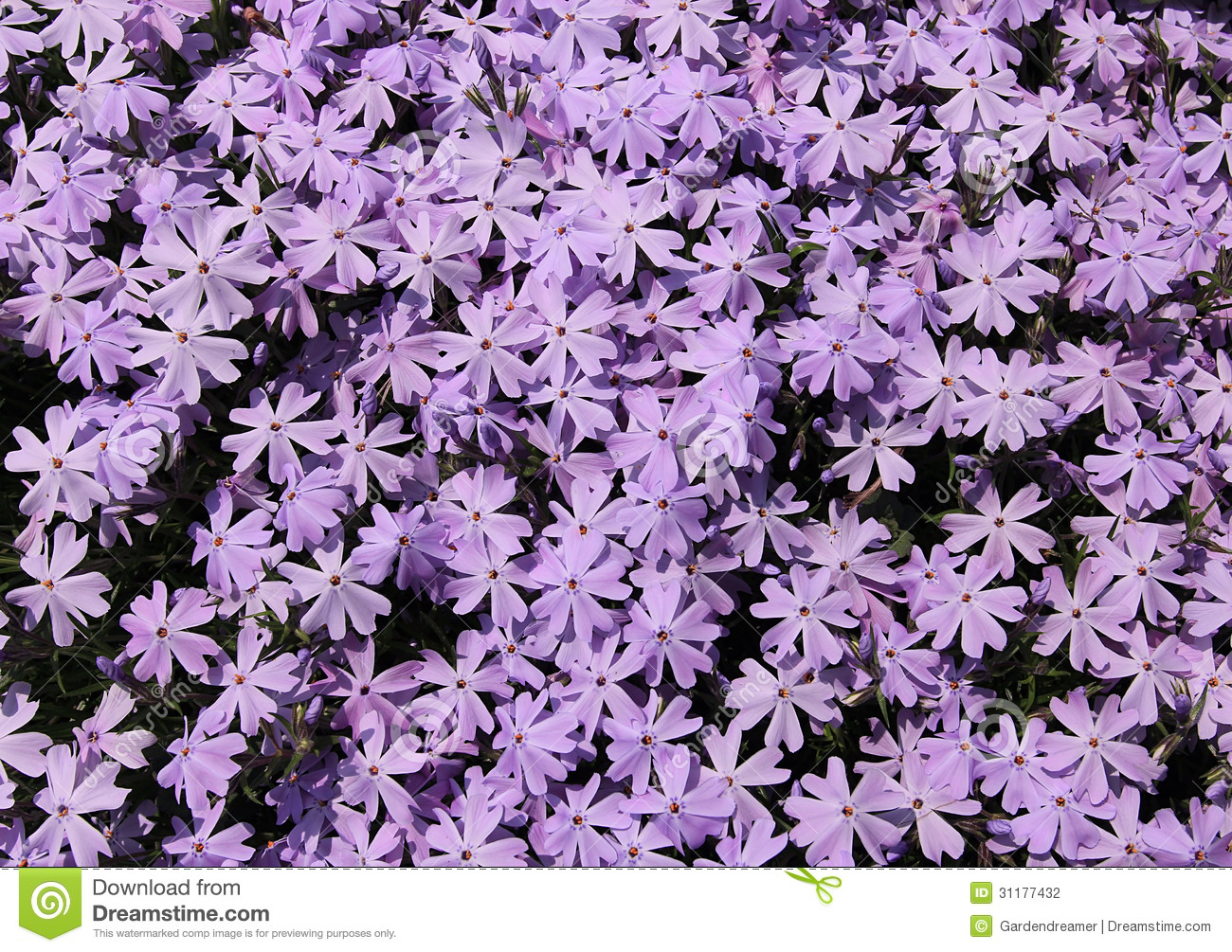 Creeping Phlox Flower Background Stock Photography.