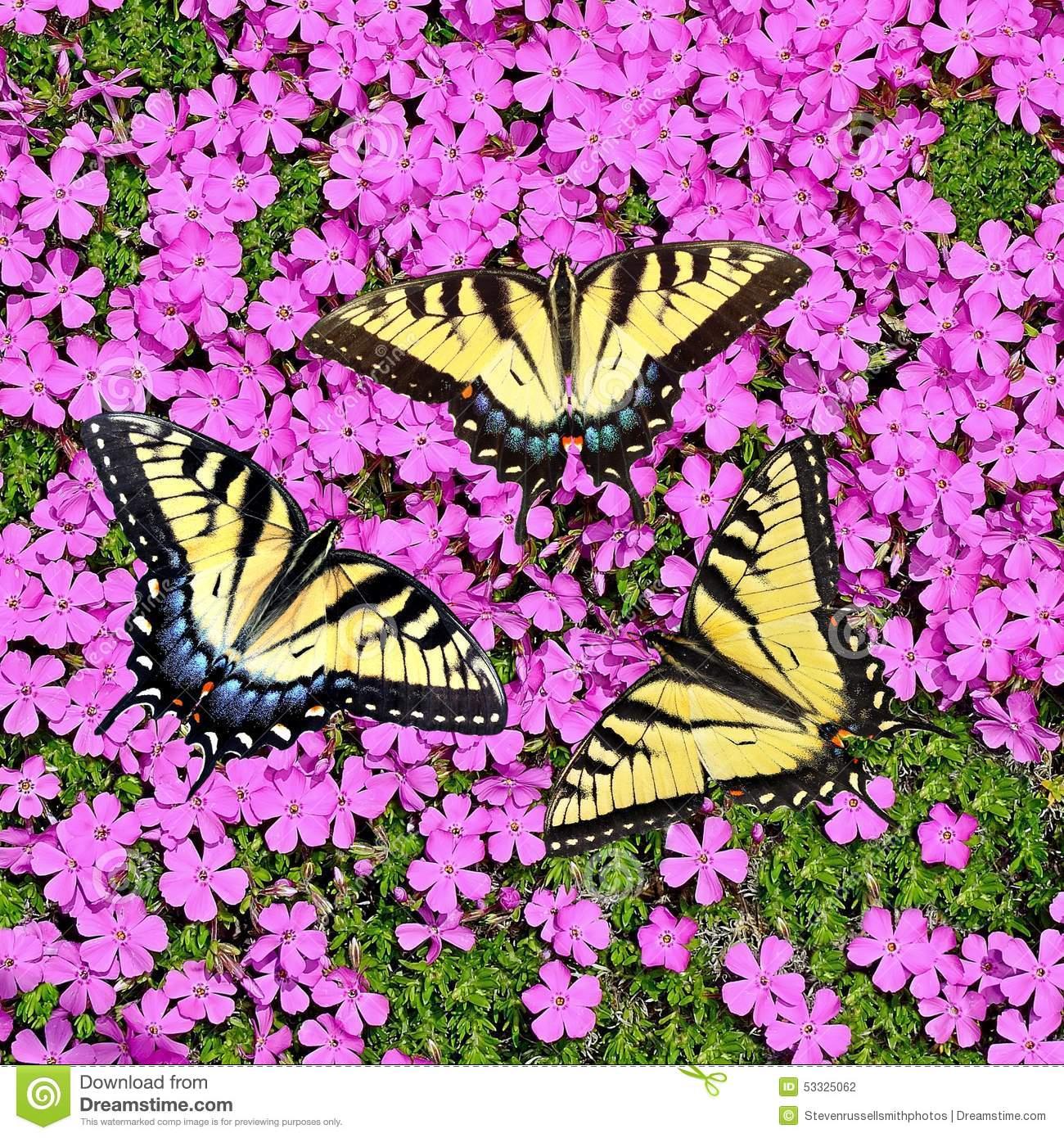 Tiger Swallowtail Butterflies At Creeping Phlox Stock Photo.