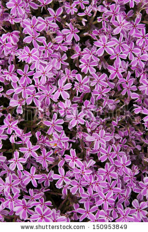 Carpet Phlox Stock Photos, Royalty.