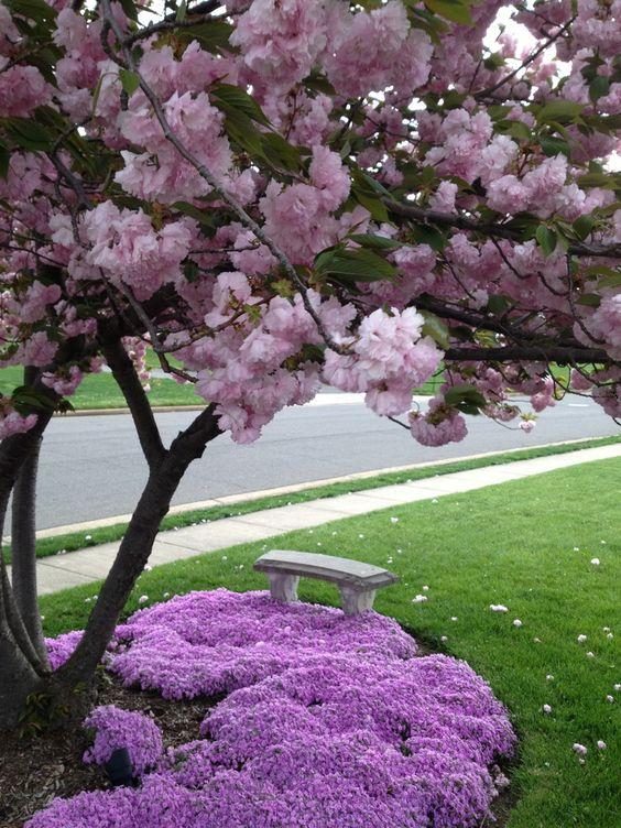Kwanzan cherry tree & Charleston creeping phlox by Lisa Johnson.