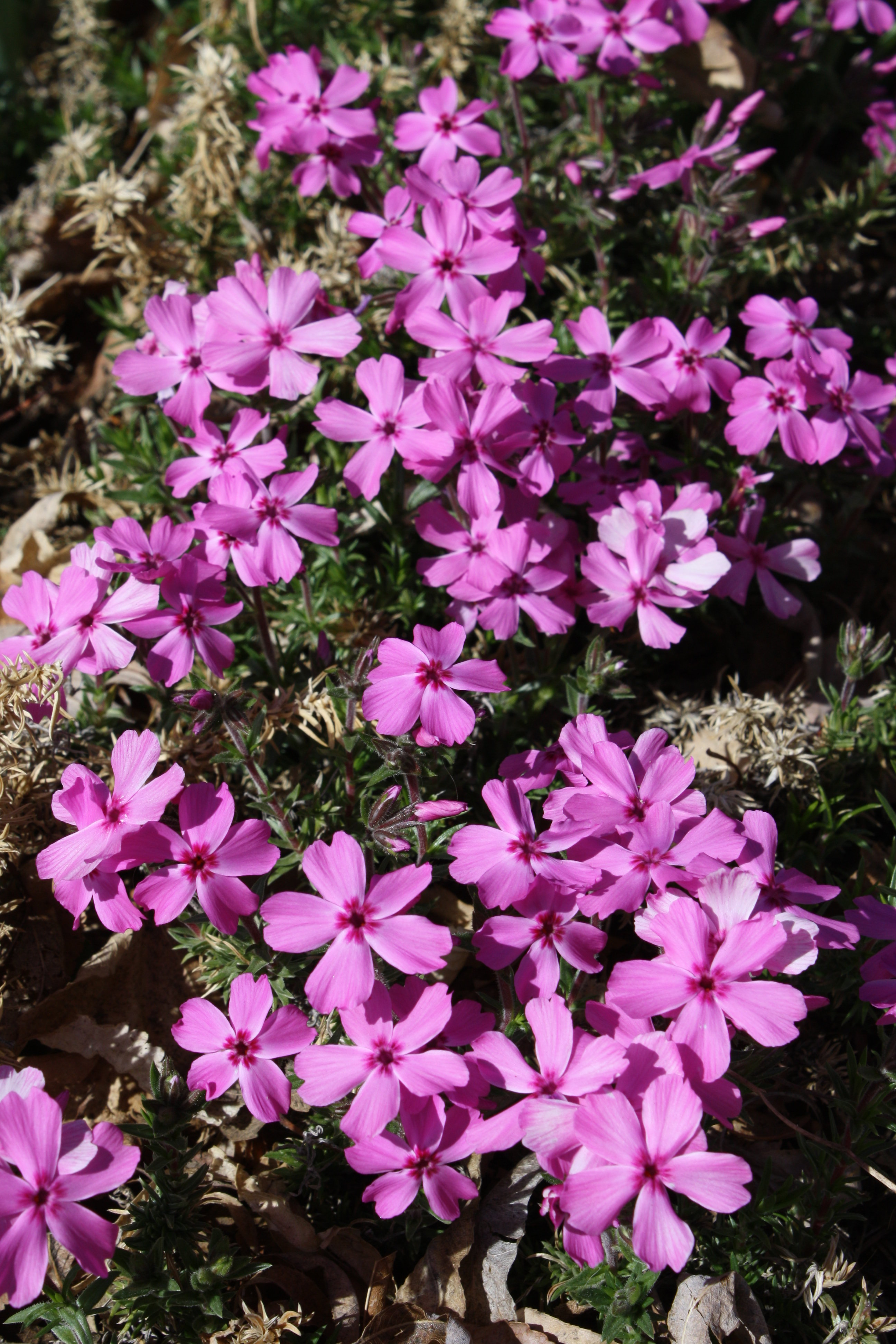 Pink Creeping Phlox Picture.