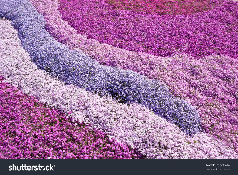Purple Pink Carpet Phlox Subulata Creeping Stock Photo 277430414.
