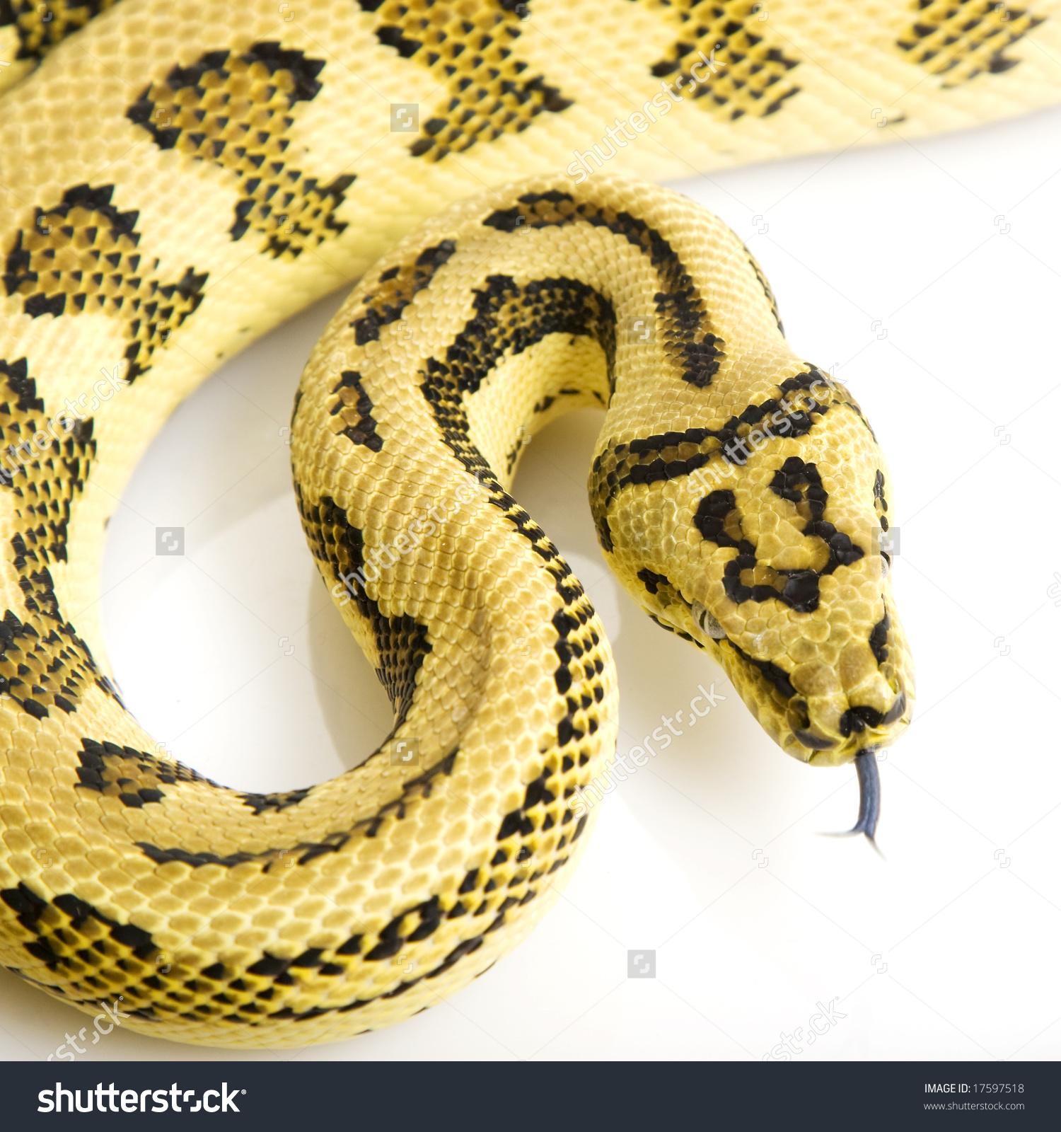 Jungle Jaguar Carpet Python (Morelia Spilota Variegata) On White.