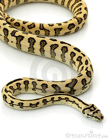 Jungle Jaguar Carpet Python Royalty Free Stock Photo.