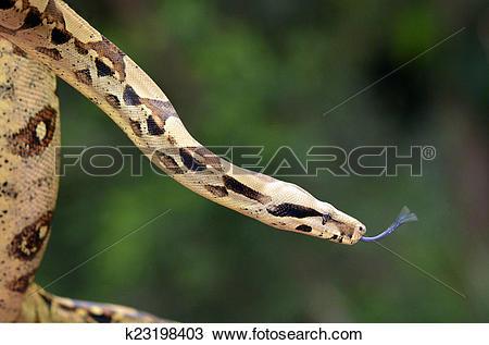 Stock Photo of Australian Coastal Carpet Python k23198403.