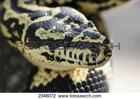 Stock Photo of Jungle carpet python (Morelia spilota cheynei.