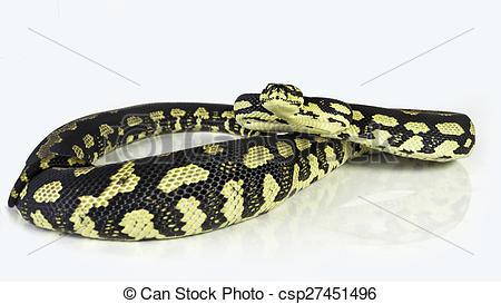 Stock Photographs of jungle carpet python.
